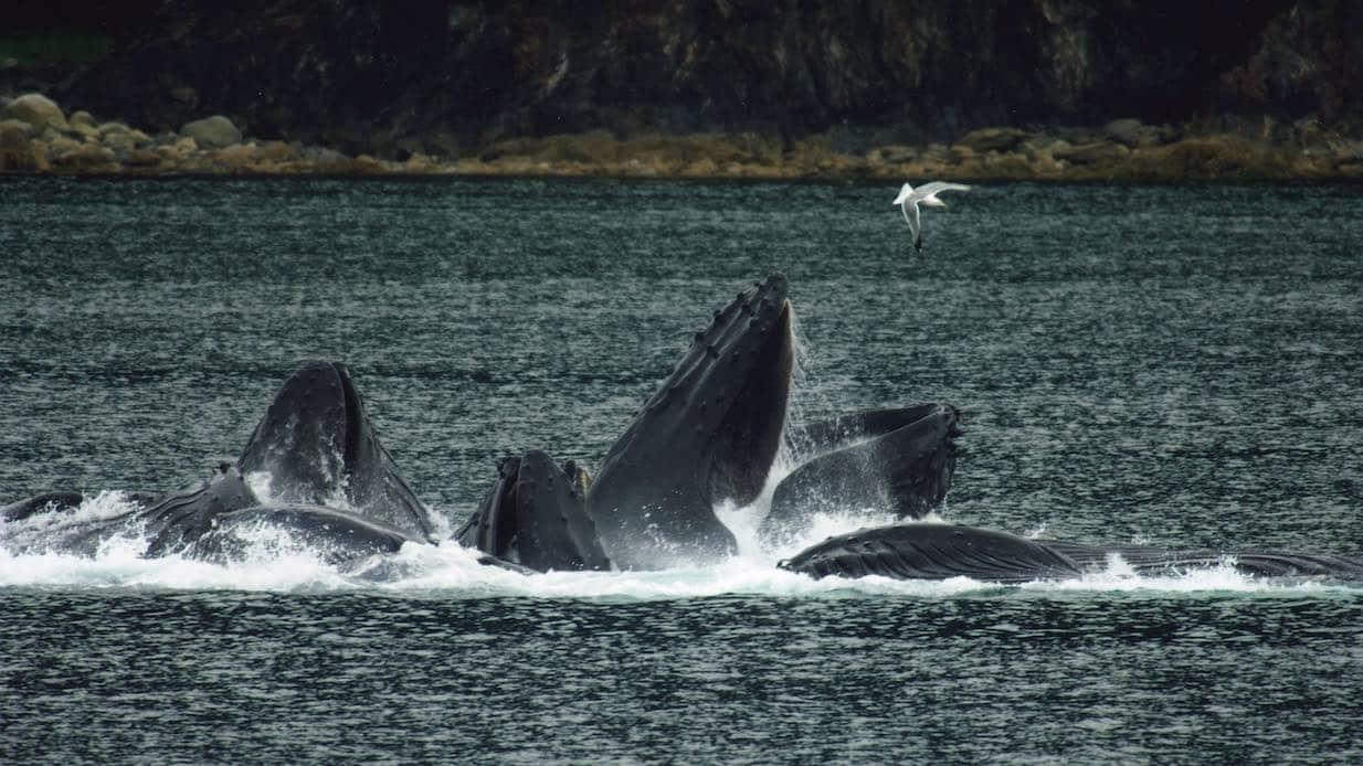 Närkontakt med knölvalar utanför Sandhamn!