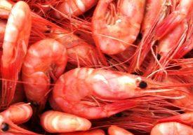 Pinfärska räkor direkt från fiskebåten