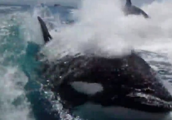 nyheter_2013_Killer_whale__Killer_Whale